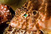 Malapascua Island Art - Closeup Portrait Of A Hawkfish by Tim Laman