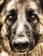 Wild Wolf Prints - Closeup portrait of german shepherd  Print by Anna Omelchenko