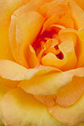 Wet Rose Prints - Closeup Yellow Rose Print by Atiketta Sangasaeng