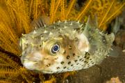Porcupine Fish Art - Closeupf Of A Yellowspotted Burrfish by Tim Laman