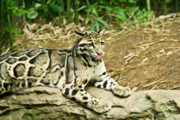 Southest Framed Prints - Clouded Leopard 1 Framed Print by Douglas Barnett