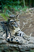 Southest Framed Prints - Clouded Leopard 3 Framed Print by Douglas Barnett