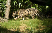 Southest Framed Prints - Clouded Leopard 5 Framed Print by Douglas Barnett