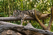 Southest Framed Prints - Clouded Leopard 6 Framed Print by Douglas Barnett