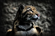 Wild Cats Photos - Clouded Leopard by Adrian Tavano