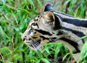 Leopard Face Prints - Clouded Leopard in the Grass Print by Kristin Elmquist