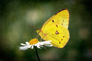 Wildflower Art - Clouded Sulphur Butterfly by Susan Isakson
