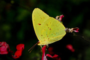 Photographs Of Flowers Posters - Cloudless Sulphur Poster by Skip Willits