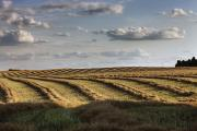 Field. Cloud Prints - Clouds Over Canola Field On Farm Print by Dan Jurak