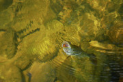 Fly Fishing Photo Posters - Clouser Smallmouth Poster by Randy Bodkins