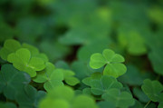 Austria Photo Posters - Clovers Poster by Tommi Pohjalainen