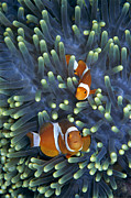 False Posters - Clown Anemonefish Amphiprion Ocellaris Poster by Hiroya Minakuchi