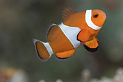 Side View Prints - Clown Anemonefish (amphiprion Ocellaris) Print by Steven Trainoff Ph.D.