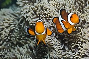 Clown Fish Photo Metal Prints - Clown Anemonefish Metal Print by Georgette Douwma