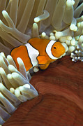 Osteichthyes Framed Prints - Clown Anemonefish In Anemone, Great Framed Print by Todd Winner