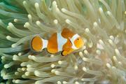 Damselfish Framed Prints - Clown Anemonefish In Sea Anemone Framed Print by Joe Stancampiano