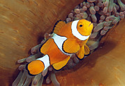 Anemonefish Prints - Clown Anemonefish Print by Matthew Oldfield