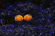 All Abstract Posters - Clown fish abstract Poster by Sheila Smart