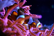 Clown Fish Photos - Clown Fish by Angela Murray