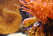 Clown Fish Photo Metal Prints - Clown Fish Metal Print by Anthony Citro