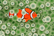 Cells Digital Art - Clown Fish in Green Anemone Polyps by Michal Boubin