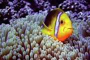 Sea Anemone Posters - Clown Fish In Sea Anemone Poster by Capture the World by LL