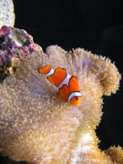 Clown Fish Photos - Clown Fish by Mary Griffin