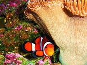 Clown Fish Photos - Clown Fish by Samantha Howell