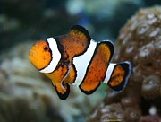 Clown Fish Photo Originals - Clown Fish by Sherrie Winstead
