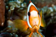 Clown Fish Photos - Clown fish with an attitude. by Larry Gohl