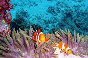 Animals Photos - Clown Fishes by Takau99