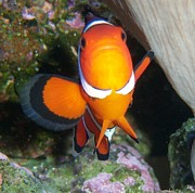 Clown Fish Photos - Clown by Samantha Howell