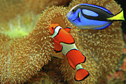 Two Fish Framed Prints - Clownfish And Regal Tang Framed Print by Aamir Yunus