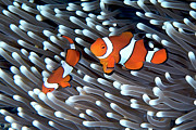 Animals Photos - Clownfish by Copyright Melissa Fiene