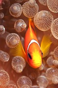 Clownfish Prints - Clownfish In Sea Anemone Print by Louise Murray
