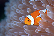 Sea Anemone Posters - Clownfish In White Anemone Poster by Alastair Pollock Photography