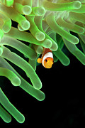 Sea Anemone Posters - Clownfish On Green Anemone Poster by Alastair Pollock Photography