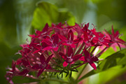 Cluster Of Flowers Photo Posters - Cluster of Red Poster by Jason Pryor