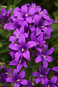 Bellflower Prints - Clustered Bellflower Print by Lyle Hatch