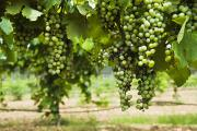 Grape Vines Photos - Clusters Of Grapes On The Vine At Fall by James Forte