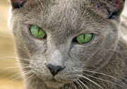 Pictures Of Cats Photo Posters - Clyde and His Green Eyes Poster by James Steele