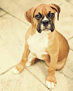 Boxer Photo Framed Prints - Clyde- Fawn Boxer Puppy Framed Print by Jody Trappe Photography