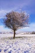 Snowed Trees Photo Prints - Co Antrim, Ireland Hawthorn Tree Known Print by The Irish Image Collection
