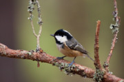 Birdwatching Originals - Coal Tit Periparus ater by Gabor Pozsgai