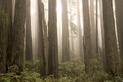 Foggy Day Prints - Coast Redwood Trees Are Seen Print by Phil Schermeister