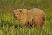 Coastal Brown Bear Print by David DesRochers