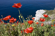 Red Cliffs Prints - Coastal Poppies Print by Richard Garvey-Williams