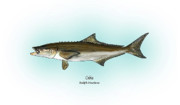 Fishing Prints - Cobia Print by Ralph Martens
