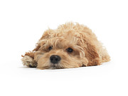 Miserable Prints - Cockapoo Dog Isolated on White Background Print by Oleksiy Maksymenko