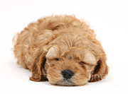 Sleeping Dog Prints - Cockapoo Pup Print by Mark Taylor
